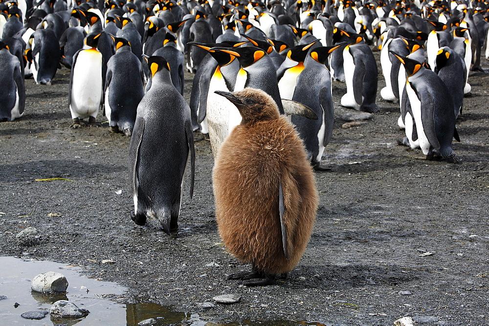 Juvenile King Penguin (Aptenodytes patagonicus)  in colony on South Georgia Island, southern Atlantic Ocean.
