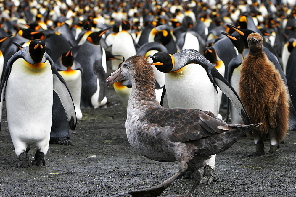 King Penguin colony (Aptenodytes patagonicus) guarding against a Southern Giant Petrel (Macronectes gigantes) on South Georgia Island, southern Atlantic Ocean.