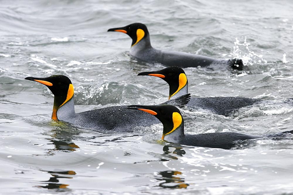 King Penguins (Aptenodytes patagonicus) swimming at surface on South Georgia Island, southern Atlantic Ocean.