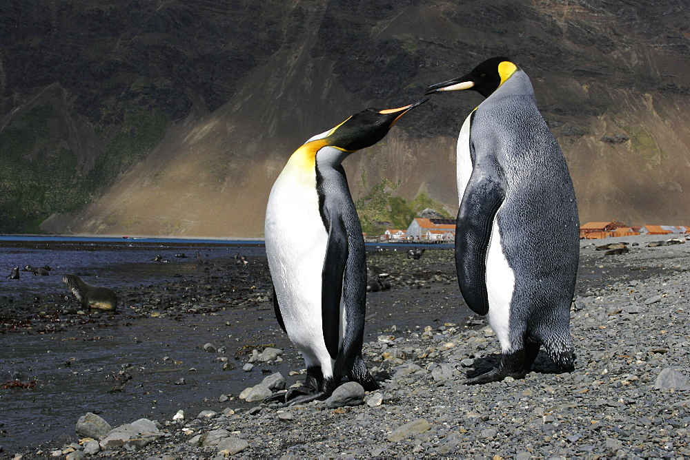 King Penguin (Aptenodytes patagonicus) pair on the beach at Stromness Whaling Station on South Georgia Island, southern Atlantic Ocean.