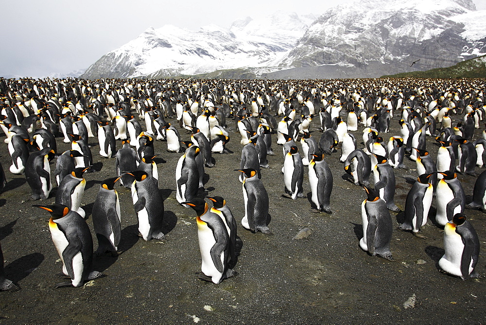 King Penguins (Aptenodytes patagonicus) nesting by the thousands on South Georgia Island, southern Atlantic Ocean.
