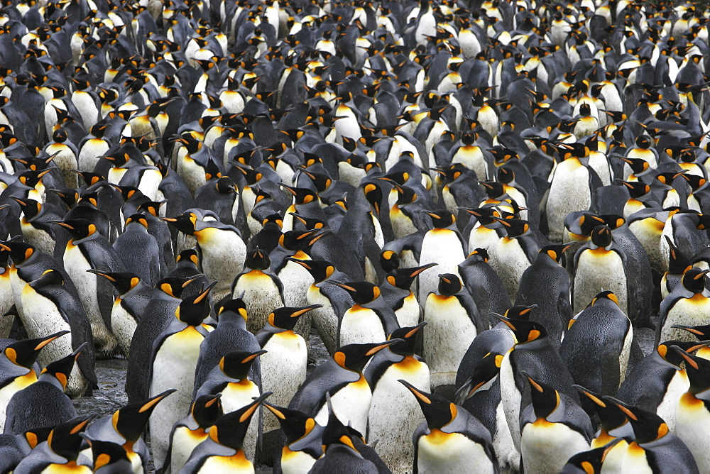 King penguins (Aptenodytes patagonicus) literally by the tens of thousands on South Georgia Island, southern Atlantic Ocean.