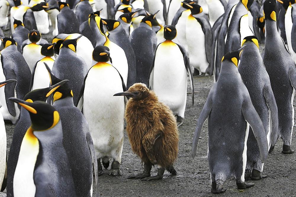 "King Penguins (Aptenodytes patagonicus) with chick ""okum boy"" on South Georgia Island, southern Atlantic Ocean."