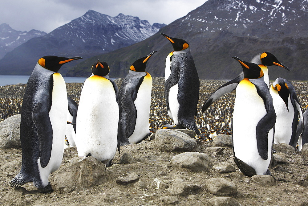 King penguins (Aptenodytes patagonicus) in front of literally tens of thousands of nesting king penguins on South Georgia Island, southern Atlantic Ocean.