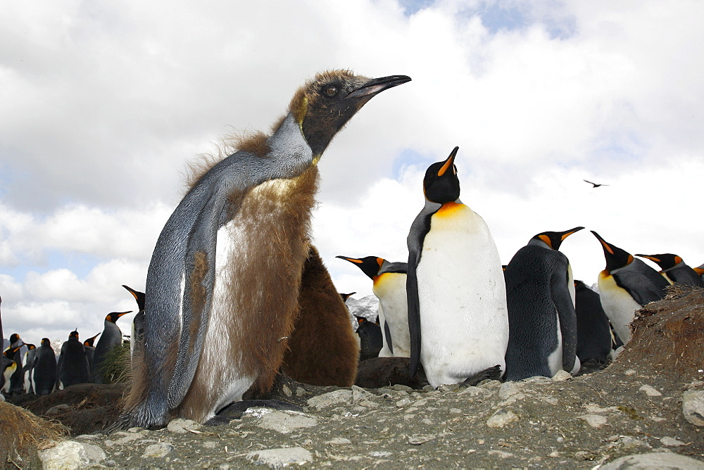 Young King penguin (Aptenodytes patagonicus) molting among a colony of nesting animals  numbering between 70,000 and 100,000 nesting pairs on Salisbury Plain on South Georgia Island, South Atlantic Ocean.