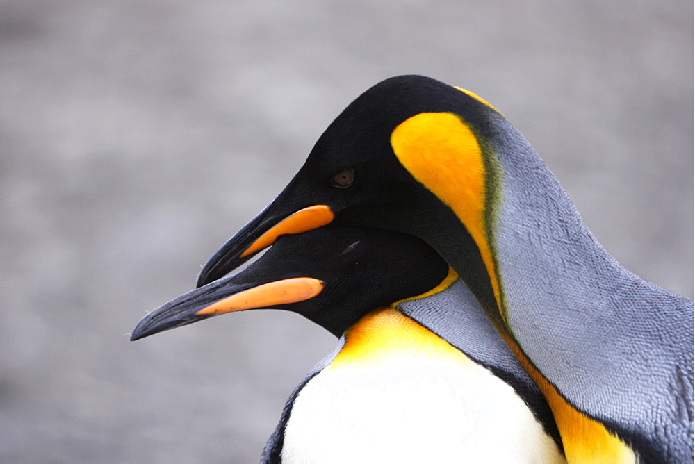 King penguin (Aptenodytes patagonicus) pair courtship in colony of nesting animals  numbering between 70,000 and 100,000 nesting pairs on Salisbury Plain on South Georgia Island, South Atlantic Ocean.