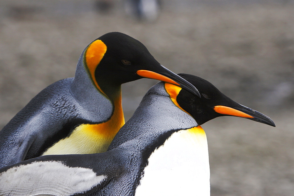 King penguin (Aptenodytes patagonicus) courtship in a colony of nesting animals  numbering between 70,000 and 100,000 nesting pairs on Salisbury Plain on South Georgia Island, South Atlantic Ocean.