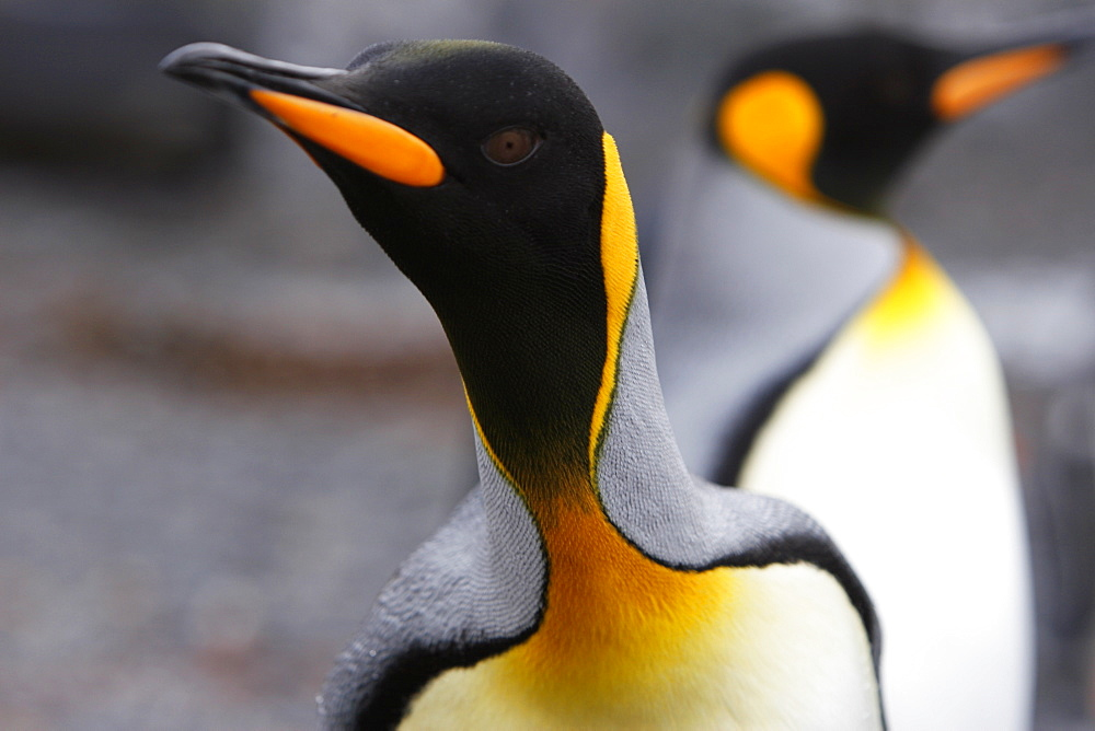Curious King penguin (Aptenodytes patagonicus) approaches the camera on the beach at Prion Island in the Bay of Isles on South Georgia Island, South Atlantic Ocean.