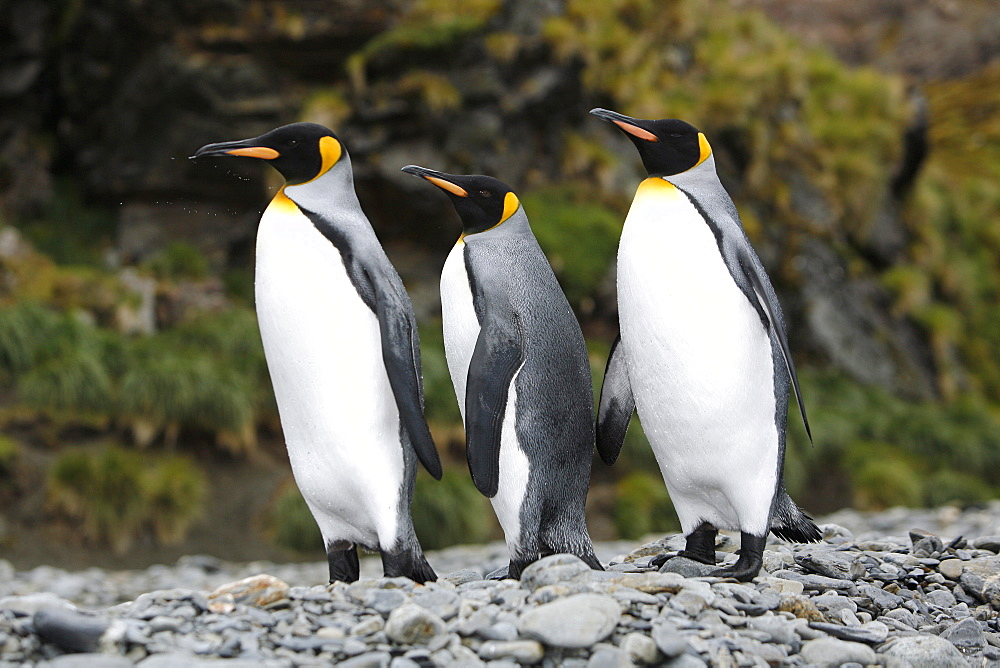 Three king penguins (Aptenodytes patagonicus) near colony of nesting animals  numbering about 7,000 nesting pairs at Fortuna Bay on South Georgia Island, South Atlantic Ocean.