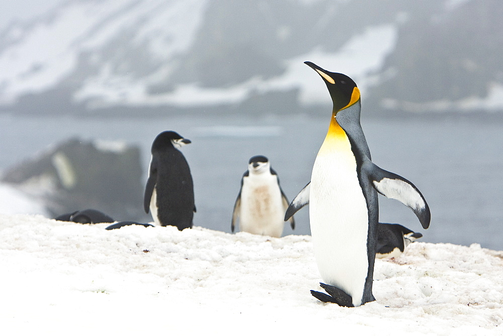 A very rare sighting of a lone adult king penguin (Aptenodytes patagonicus) among breeding and nesting colonies of both gentoo and chinstrap penguins on Barrentos Island in the Aitcho Island Group, South Shetland Islands, Antarctica. King penguins are rar