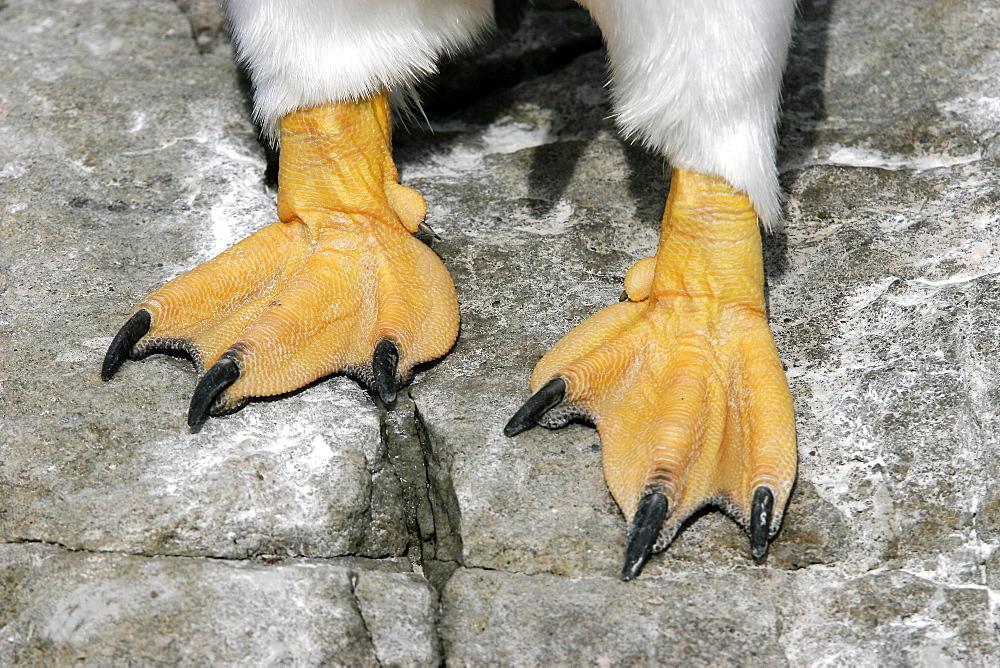 Gentoo Penguin (Pygoscelis papua) close-up of feet in the Falkland Islands, south Atlantic Ocean.