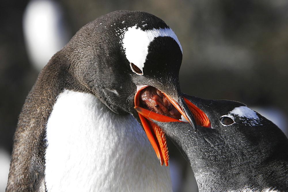 Gentoo penguin (Pygoscelis papua) parent feeding regurgitated krill to hungry chick in Antarctica.