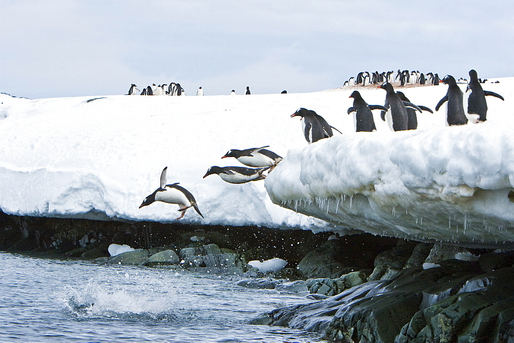 Adult gentoo penguins (Pygoscelis papua) jumping from and onto ice covered island at Mikkelsen Point on Trinity Island in the northern portion of the Gerlache Strait, Antarctica. Southern Ocean