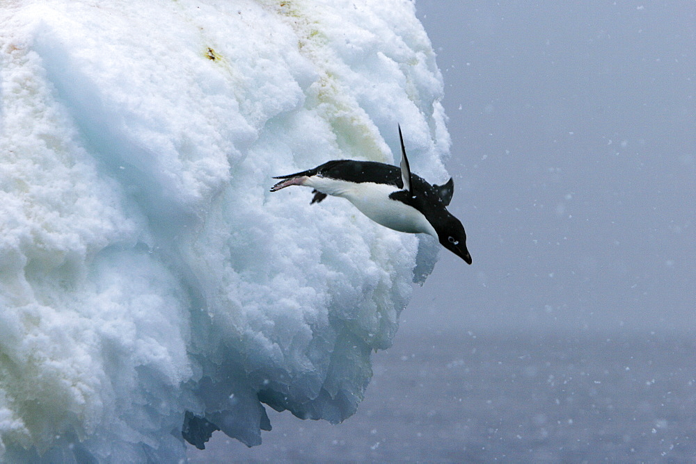 Adult Adelie penguins (Pygoscelis adeliae) leaping off of an iceberg in a snowstorm at Paulet Island in the Weddell Sea.