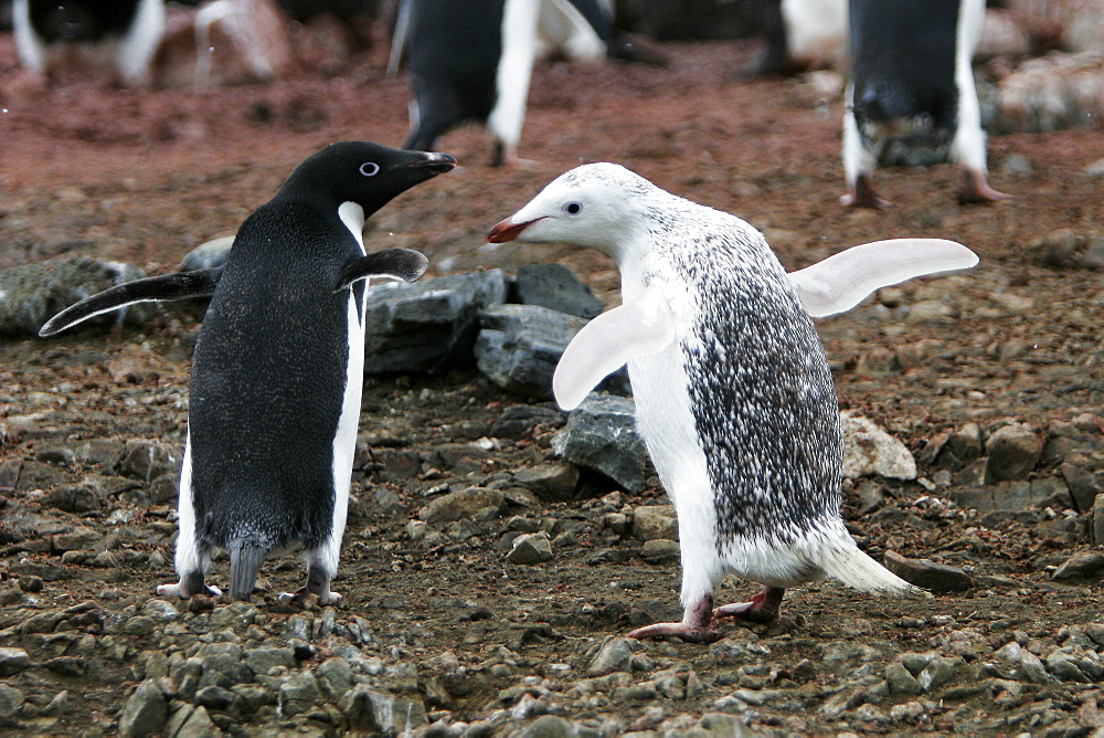 """A leucistic adult Adelie penguin (Pygoscelis adeliae) on Devil Island on the Northeast side of the Antarctic Peninsula. This adult is the parent to two """"normal"""" coloration chicks. This coloration in Adelie penguins is very rare and sometimes referred to as an Isabelline or albinistic Adelie penguin."""