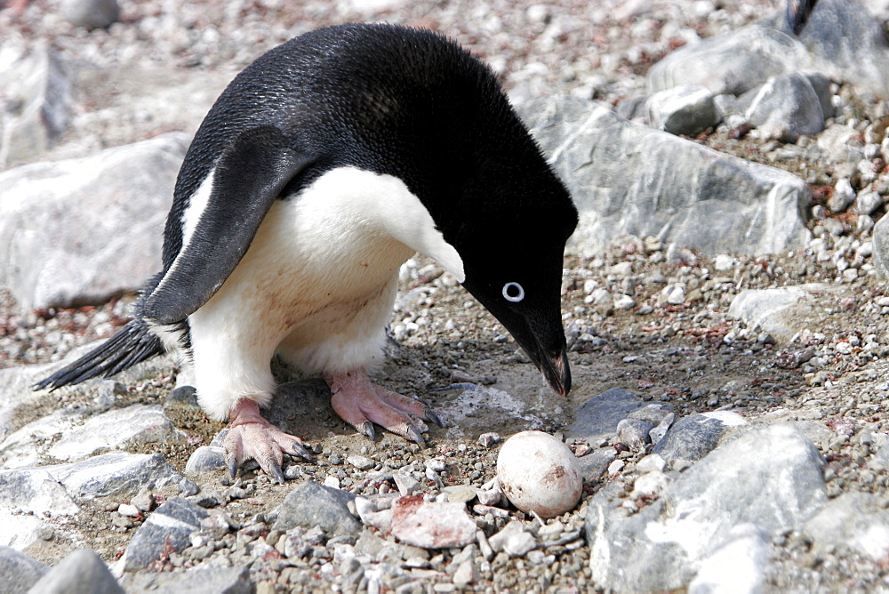 Adult Adelie penguin (Pygoscelis adeliae) inspecting a non-viable egg at Devil Island, Antarctic Peninsula. Adelie penguins are truly an ice dependant penguin species.