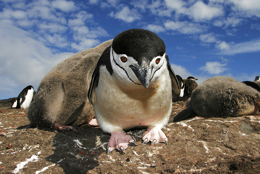 Curious adult chinstrap penguin (Pygoscelis antarctica) inspects the camera on Deception Island, Antarctica.