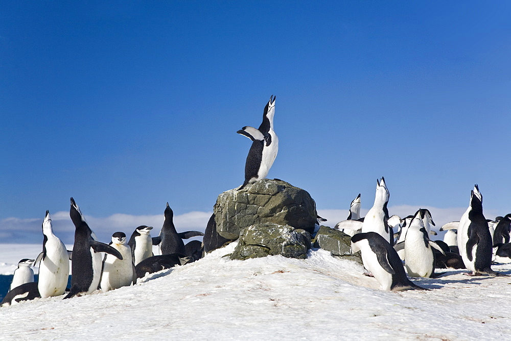 Chinstrap penguin (Pygoscelis antarctica) colony all braying together on Barrentos Island in the Aitcho Island Group in the South Shetland Islands near the Antarctic Peninsula. There are an estimated over 2 million breeding pairs of chinstrap penguins in