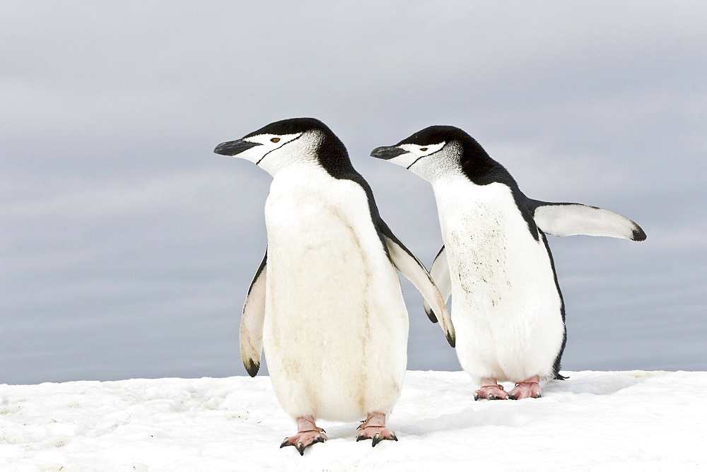 Chinstrap penguin pair (Pygoscelis antarctica) at colony on Bailey Head on Deception Island in the South Shetland Islands near the Antarctic Peninsula. There are an estimated over 2 million breeding pairs of chinstrap penguins in the Antarctic peninsula r