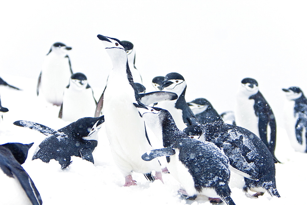 An adult chinstrap penguin (Pygoscelis antarctica) returning to the nest at a breeding colony in a snowstorm on Half Moon Island near Livingston Island in the South Shetland Islands near the Antarctic Peninsula. There are an estimated 2 million plus breed
