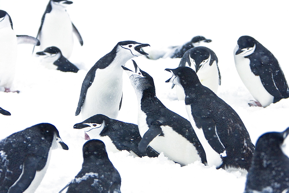 Chinstrap penguin (Pygoscelis antarctica) colony in a snowstorm on Half Moon Island near Livingston Island in the South Shetland Islands near the Antarctic Peninsula. There are an estimated 2 million plus breeding pairs of chinstrap penguins in the Antarc