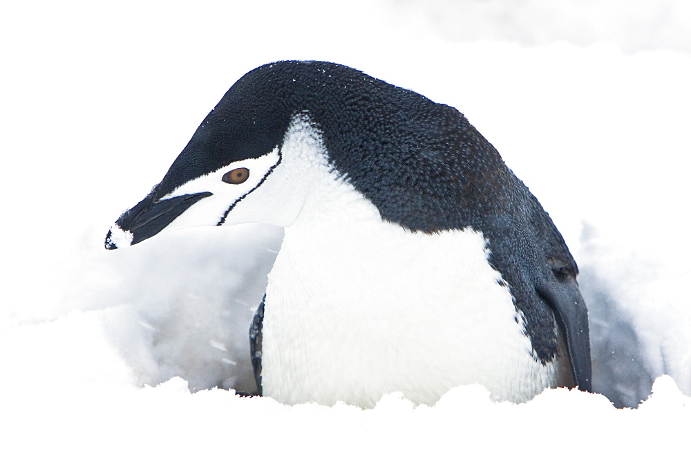 Chinstrap penguin (Pygoscelis antarctica) buried in snow at a breeding colony in a snowstorm on Half Moon Island near Livingston Island in the South Shetland Islands near the Antarctic Peninsula. There are an estimated 2 million plus breeding pairs of chi