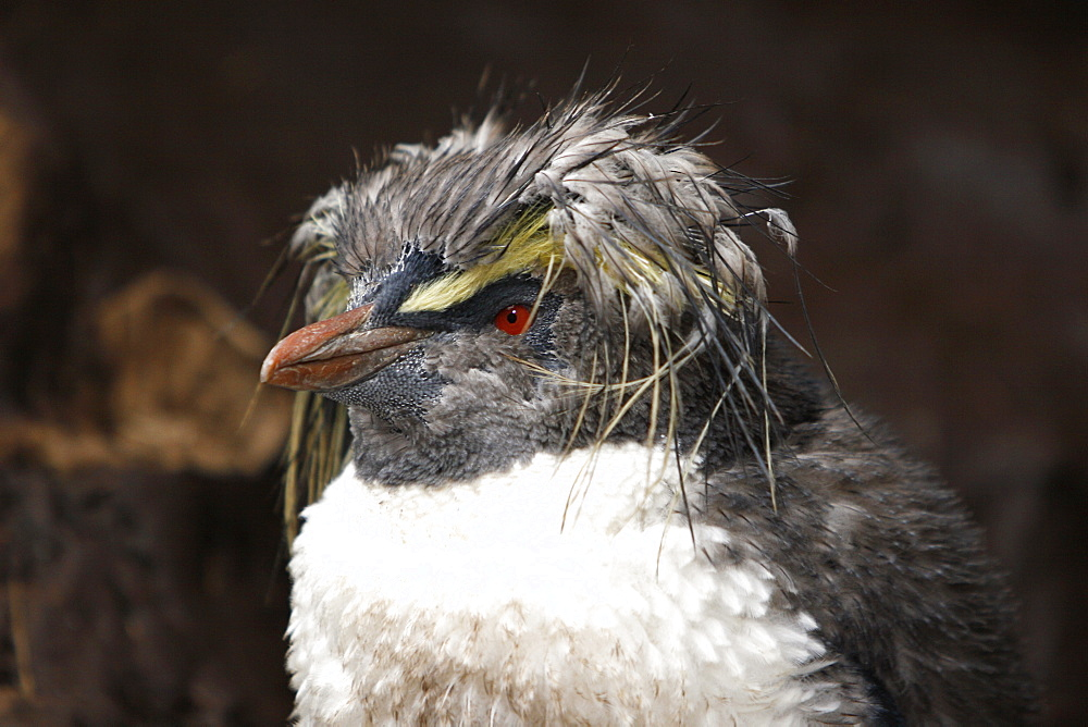 Young rockhopper penguin (Eudyptes chrysocome moseleyi) molting on Nightingale Island in the Tristan da Cunha Island Group, South Atlantic Ocean. This sub-species of rockhopper penguin is endemic to the Tristan da Cunha Island Group. Rockhopper penguins are the smallest of all of the crested penguins worldwide.