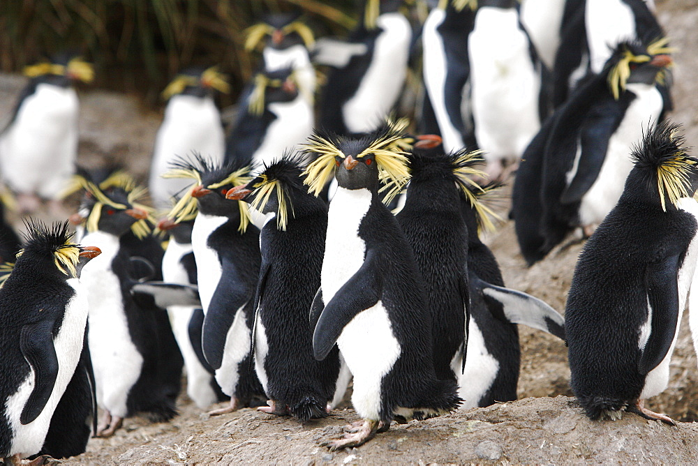 Adult rockhopper penguins (Eudyptes chrysocome moseleyi) on Nightingale Island in the Tristan da Cunha Island Group, South Atlantic Ocean. This sub-species of rockhopper penguin is endemic to the Tristan da Cunha Island Group. Rockhopper penguins are the smallest of all of the crested penguins worldwide.