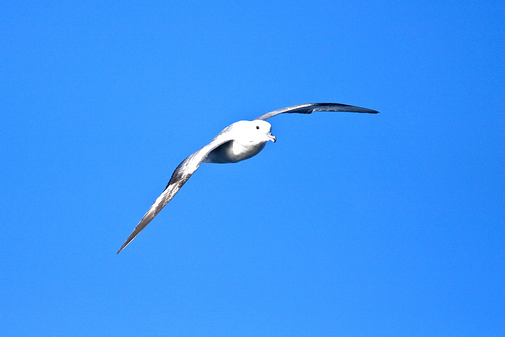 Adult southern fulmar (Fulmarus glacialoides) on the wing in the Drake passage between the tip of South America and Antarctica. Southern Ocean.