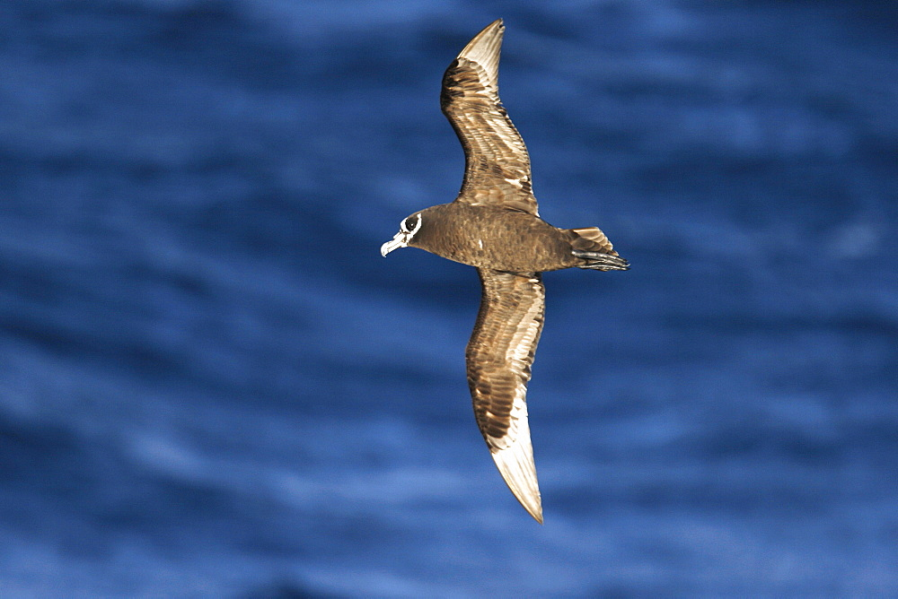 Adult spectacled petrel (Procellaria conspicillata) on the wing in the waters surrounding the Tristan da Cunha Island Group in the Southern Atlantic Ocean.