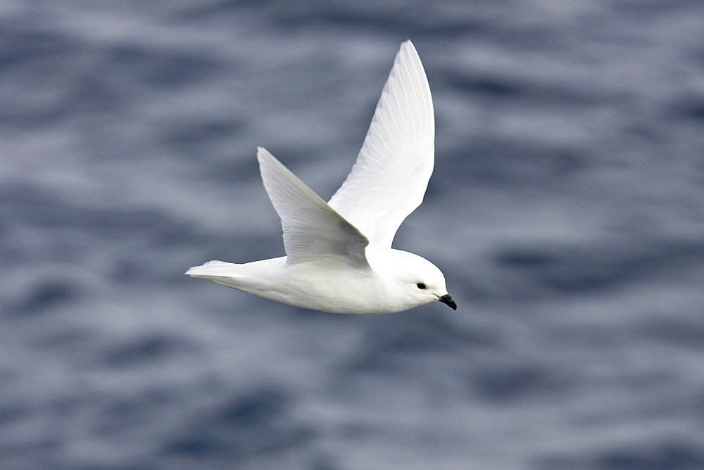 Adult snow petrel (Pagodroma nivea) on the wing in Crystal Sound below the Antarctic Circle, close to the Antarctic peninsula. This all-white petrel has two forms; the lesser snow petrel (Pagodroma nivea nivea) and the greater snow petrel (Pagodroma nivea confusa) but the two are almost impossible to distinguish at sea.