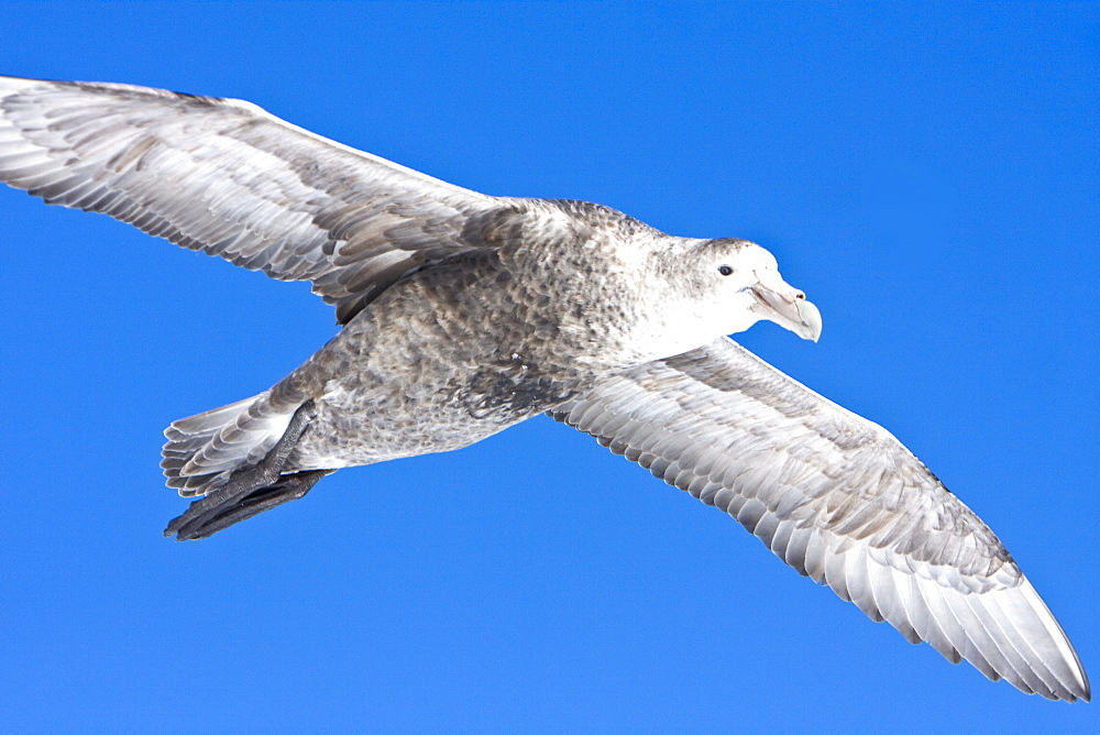 Southern Giant Petrel (Macronectes giganteus) on the wing in and around the Antarctic Peninsula.   (rr)