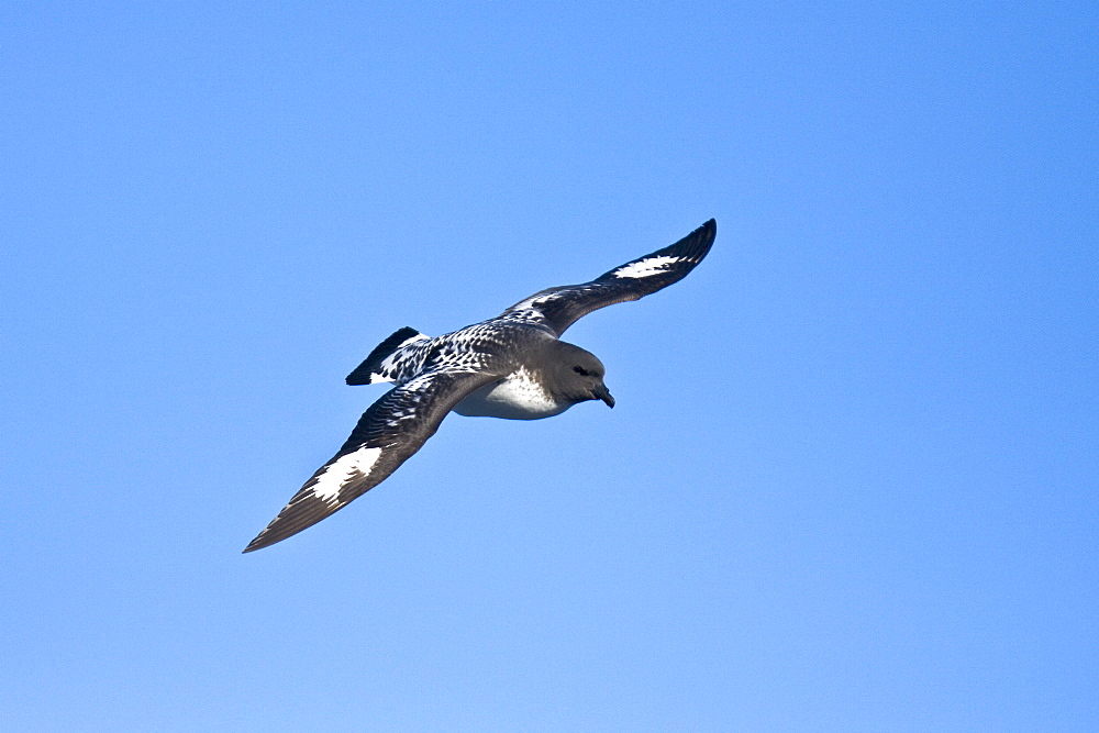 """Adult cape petrel (Daption capense) on the wing in and around the Antarctic peninsula. This petrel is sometimes also called the pintado petrel, the word pintado meaning """"painted"""" in Spanish."""