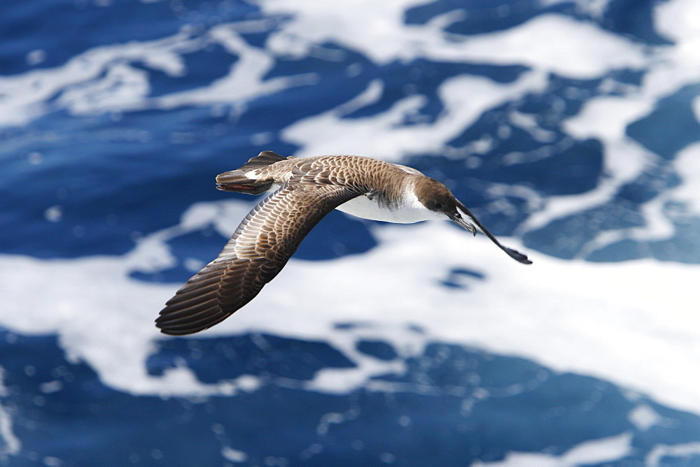 Adult Great Shearwater (Puffinus gravis) on the wing in the Tristan da Cunha Island Group, Soauth Atlantic Ocean.