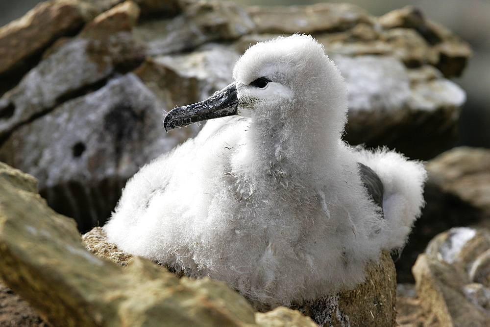 Black-browed Albatross (Thalassarche melanophrys) chick on nest in the Falkland Islands.
