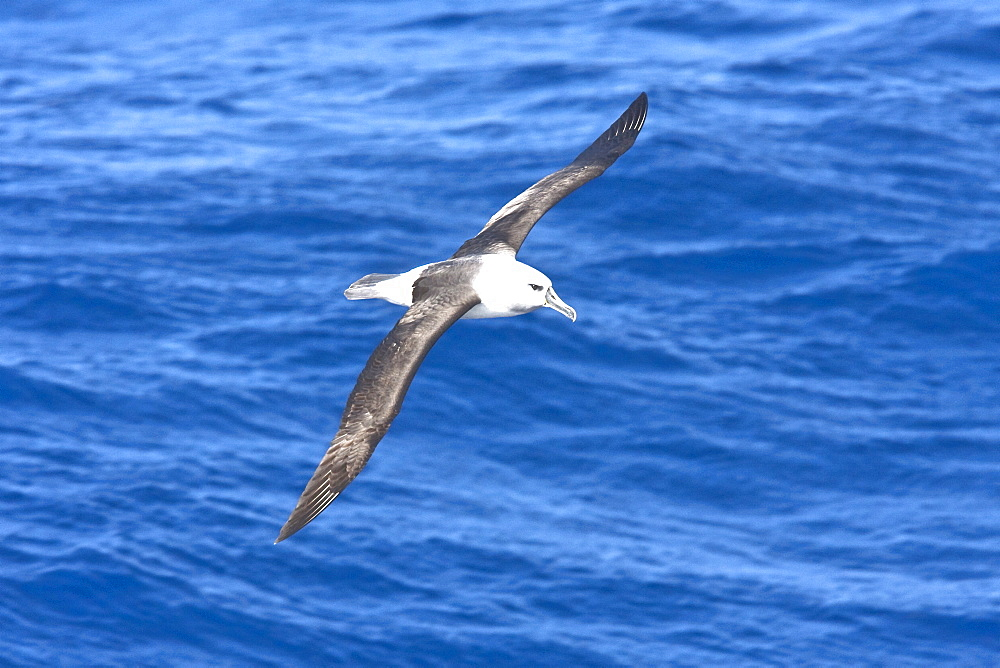 Adult grey-headed albatross (Thalassarche chrysostoma) in flight in the Drake passage between South America and the Antarctic peninsula.