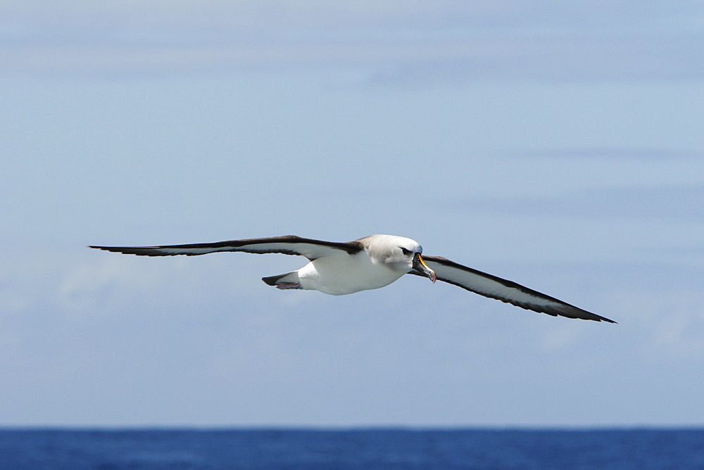 Adult yellow-nosed albatross (Thalassarche chlororhynchos) on the wing in the oceanic waters surrounding the Tristan da Cunha Island Group in the South Atlantic Ocean.