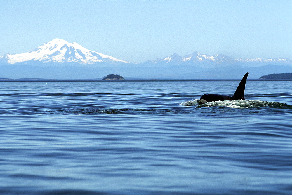 Adult Orca Bull, Orcinus Orca, surfacing in front of Mt. Baker, San Juan Islands, Washington - 979-182