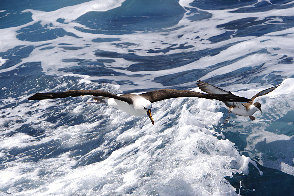 Adult yellow-nosed albatross (Thalassarche chlororhynchos) on the wing near a Great Shearwater in the oceanic waters surrounding the Tristan da Cunha Island Group in the South Atlantic Ocean.