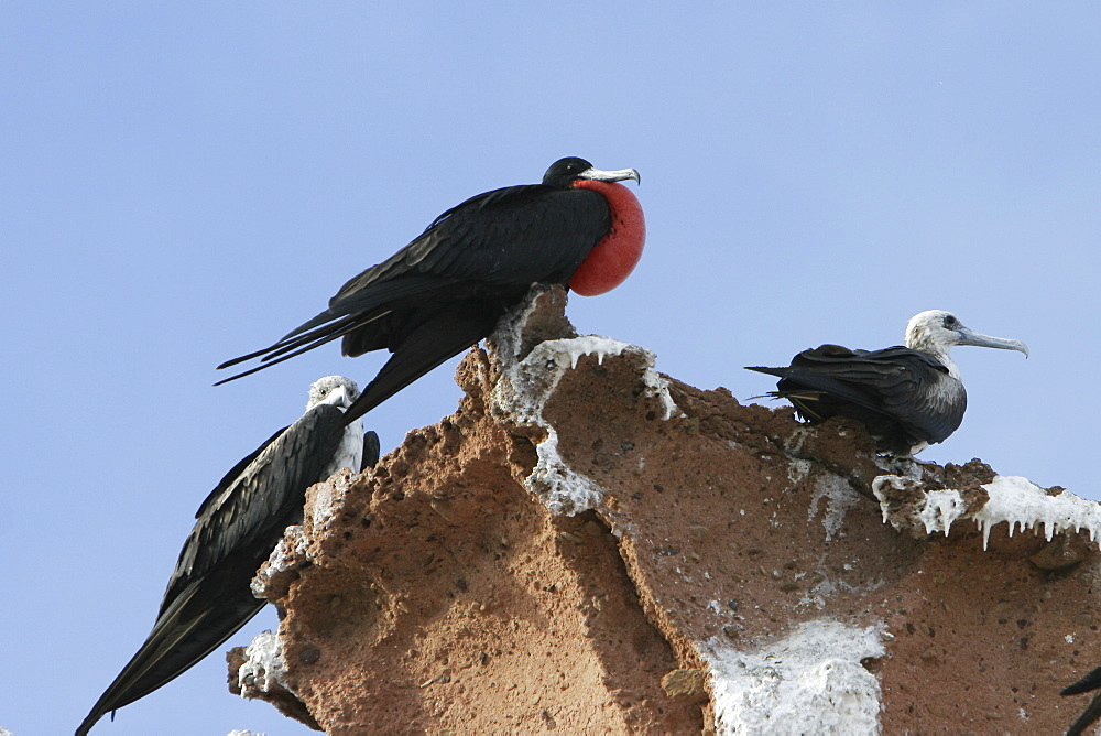 Male Magnificent Frigatebird (Fregata magnificens) with inflated gular sack during mating season near the Baja Peninsula, Mexico.