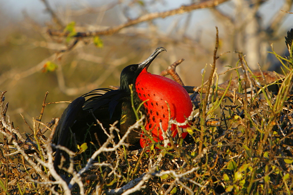 Male great frigate bird (Fregata minor) showing expanded gular pouch near nesting and breeding site on North Seymour Island in the Galapagos Island Group, Ecuador, Pacific Ocean.