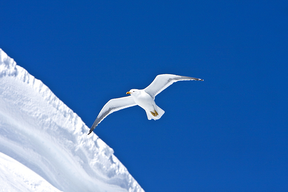 An adult kelp gull (Larus dominicanus) in flight near the Antarctic peninsula in the southern ocean. This is the only gull regularly found in the Antarctic peninsula to a latitude of 68 degrees south.