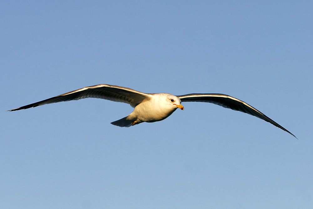 Adult Yellow-footed Gull (Larus livens) in the lower Gulf of California (Sea of Cortez), Mexico.