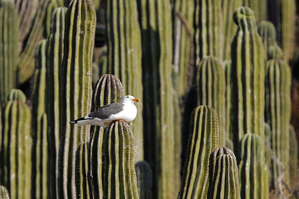 Yellow-footed Gull (Larus livens) on cardon cactus on Isla San Esteban in the upper Gulf of California (Sea of Cortez) , Mexico.