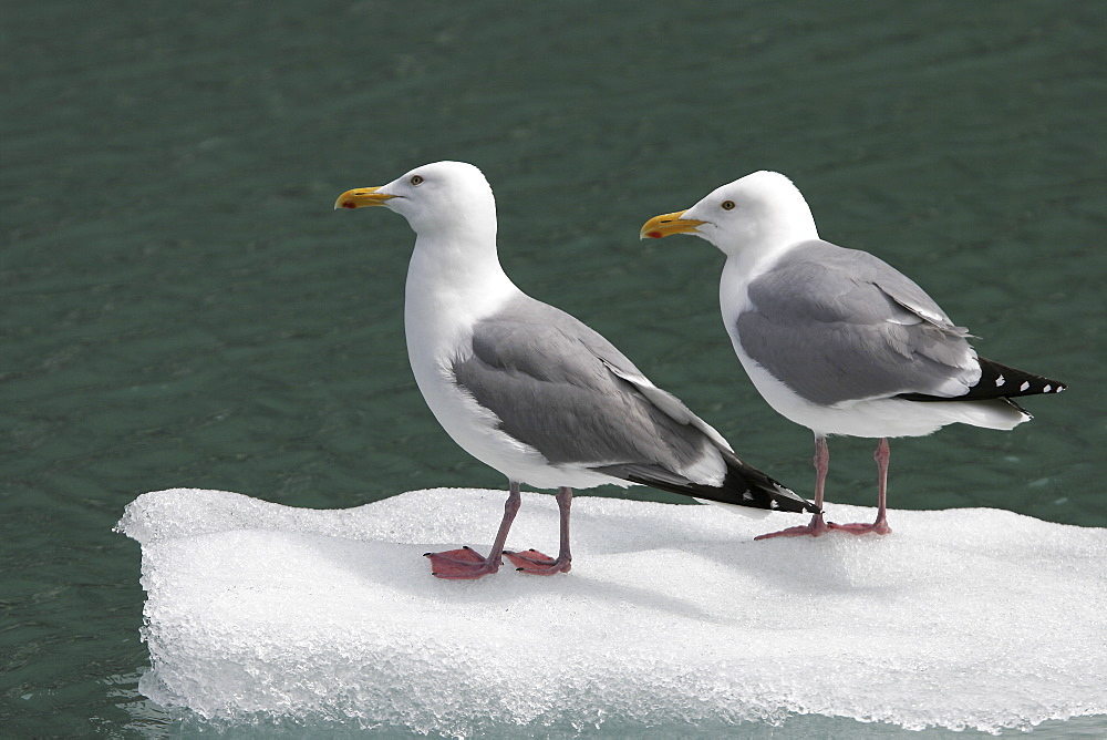 Adult Gull (Larus spp.) resting on calved ice from the Sawyer Glacier in Tracy Arm, Southeast Alaska, USA.