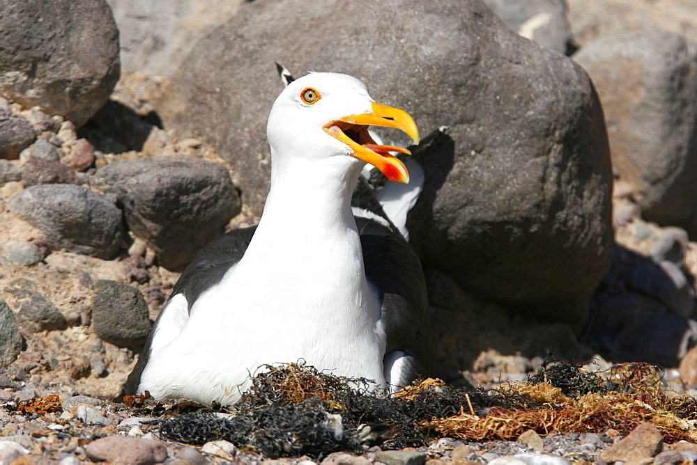 An adult yellow-footed gull (Larus livens) on the nesting area on Isla San Esteban in the midriff region of the Gulf of California (Sea of Cortez), Baja California, Mexico. This gull species in endemic to the Gulf of California.