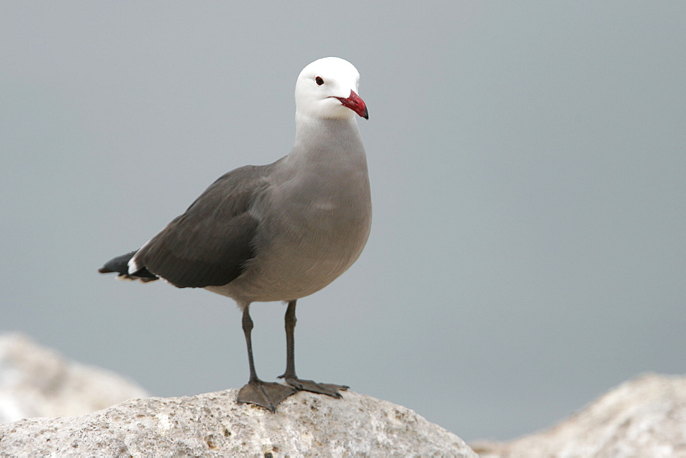 Heermann's Gull (Larus heermanni) on their breeding grounds on Isla Rasa in the middle Gulf of California (Sea of Cortez), Mexico. 95% of the world's population of this species nests on this tiny island.