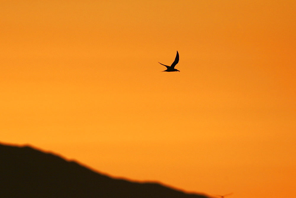 Elegant Tern flying at sunset in the Gulf of California (Sea of Cortez), Mexico.