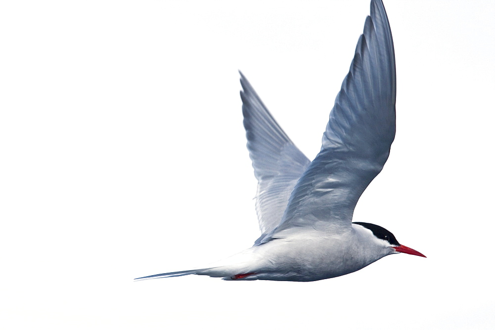 Adult Antarctic Tern (Sterna vittata) nesting and mating on Enterprise Island near the wreck of the Gouvernoren, a Norwegian whaler which caught fire and sank in Wilhelmina Bay in 1916, Antarctica.