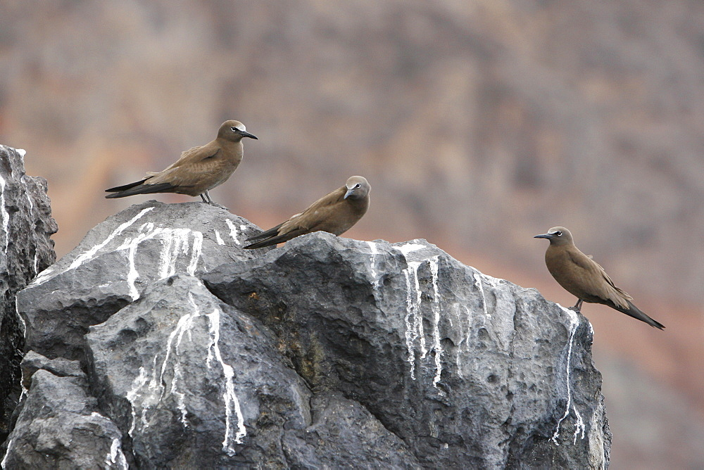 Adult brown noddies (Anous Stolidus) resting on cliff faces on the coastline of St. Helena Island on the south Atlantic Ocean.